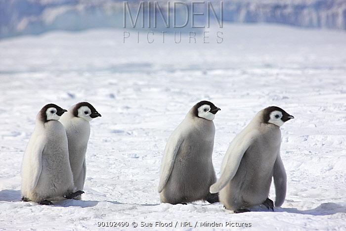 Emperor penguin (Aptenodytes forsteri) chicks walking, Snow Hill Island rookery, Antarctica, November  -  Sue Flood/ npl