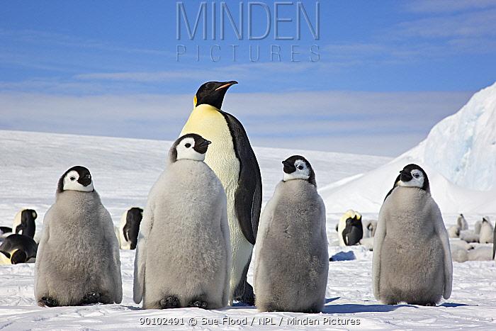 Emperor penguin (Aptenodytes forsteri) four chicks and an adult, Snow Hill Island rookery, Antarctica, November  -  Sue Flood/ npl