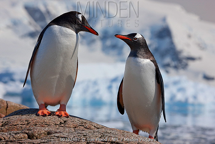 Two Gentoo penguins (Pygoscelis papua) on rock, Neko Harbour, Andvord Bay, Antarctic peninsula, November  -  Sue Flood/ npl