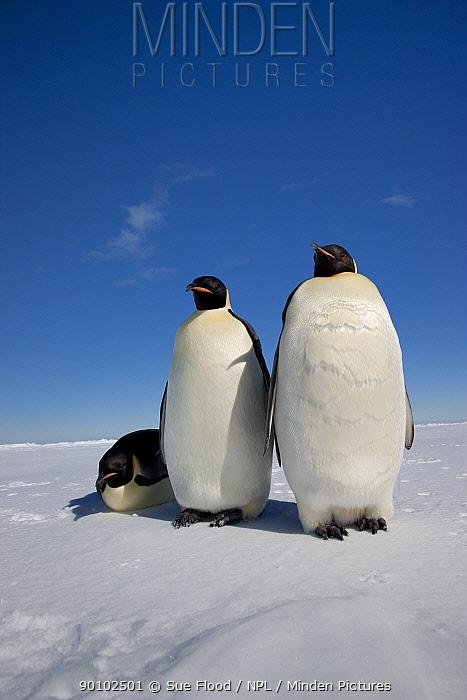 Three Emperor penguins (Aptenodytes forsteri) Cape Washington colony, Ross Sea, Antarctica, December  -  Sue Flood/ npl