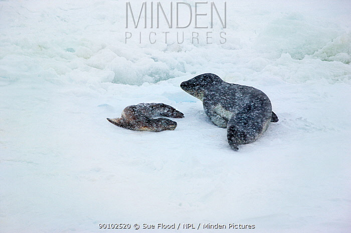 Leopard seal (Hydrurga leptonyx) female with young pup on sea ice, Crystal Sound, Antarctica, November  -  Sue Flood/ npl