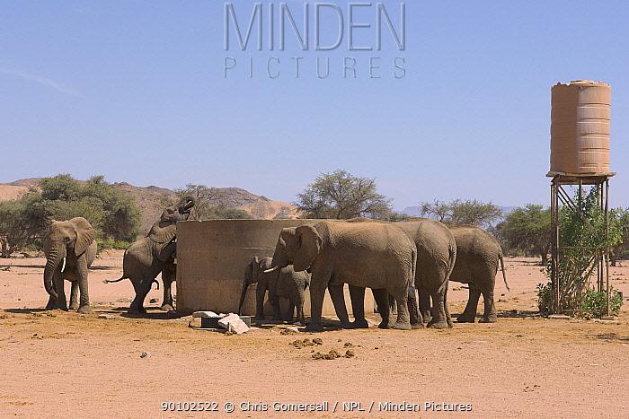 Desert adapted African elephants (Loxodonta africana) drinking from village water tank, Huab river valley, Damaraland, Namibia, November  -  Chris Gomersall/ npl
