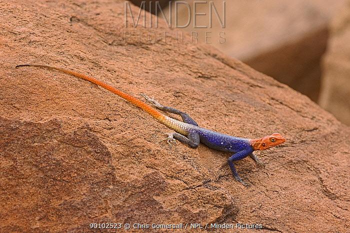 Male Namibian rock agama (Agama planiceps) on red sandstone, Damaraland, Namibia, November  -  Chris Gomersall/ npl