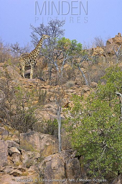Male Southern giraffe (Giraffa camelopardalis giraffa) feeding in mopane woodland, Hobatere, Namibia, November  -  Chris Gomersall/ npl