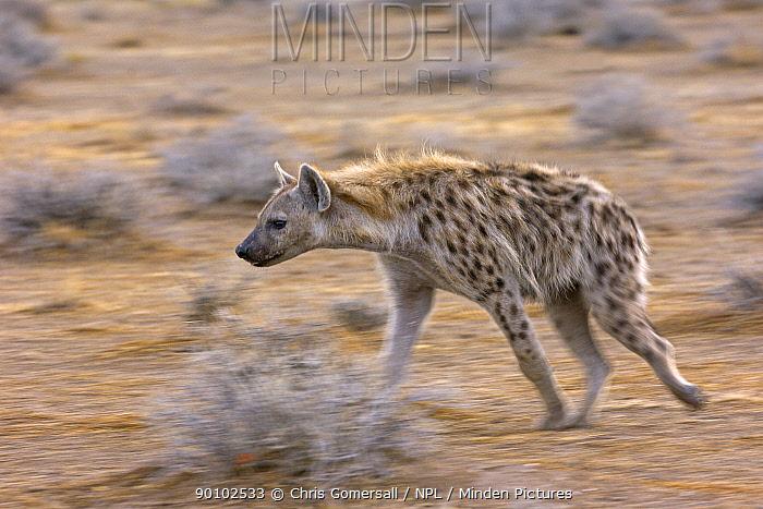 Spotted hyaena (Crocuta crocuta) on the prowl, Etosha National Park, Namibia, November  -  Chris Gomersall/ npl
