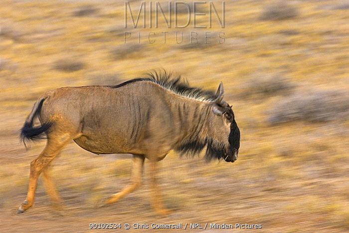 Blue wildebeest, Gnu (Connochaetes taurinus) running, Etosha National Park, Namibia, November  -  Chris Gomersall/ npl