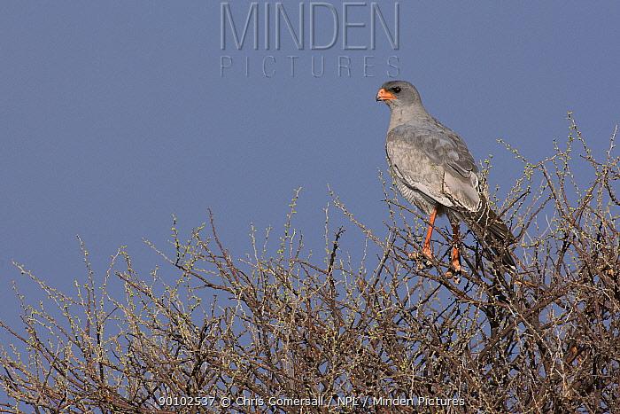 Southern pale chanting goshawk (Melierax canorus) perched, Etosha National Park, Namibia, November  -  Chris Gomersall/ npl