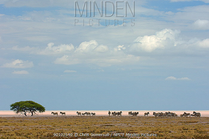 Herd of Burchell's zebra (Equus burchelli) by the Etosha Pan, Etosha National Park, Namibia, November  -  Chris Gomersall/ npl