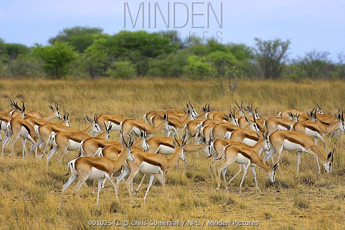 Springbok (Antidorcas marsupialis) herd grazing, Etosha National Park, Namibia, November  -  Chris Gomersall/ npl