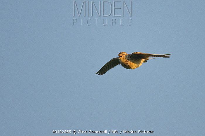 Skylark (Alauda arvensis) in flight singing, South Uist, Outer Hebrides, Western Isles, Scotland, June  -  Chris Gomersall/ npl