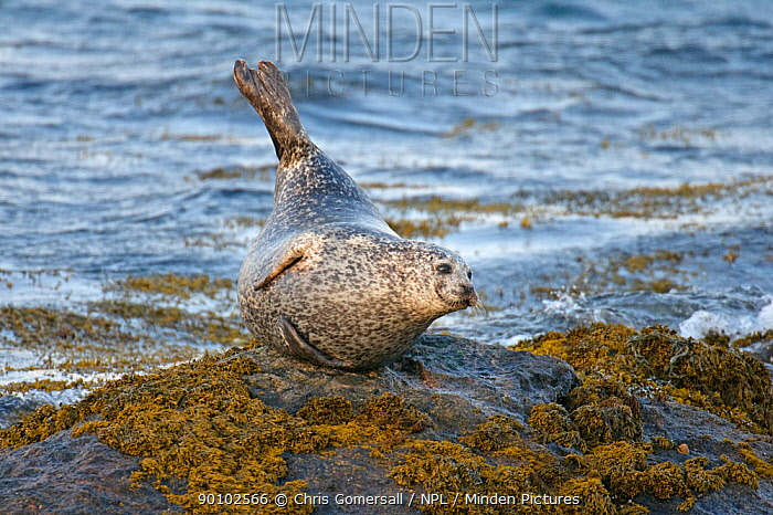 Common, Harbour seal (Phoca vitulina) on rocky islet, South Uist, Outer Hebrides, Scotland  -  Chris Gomersall/ npl