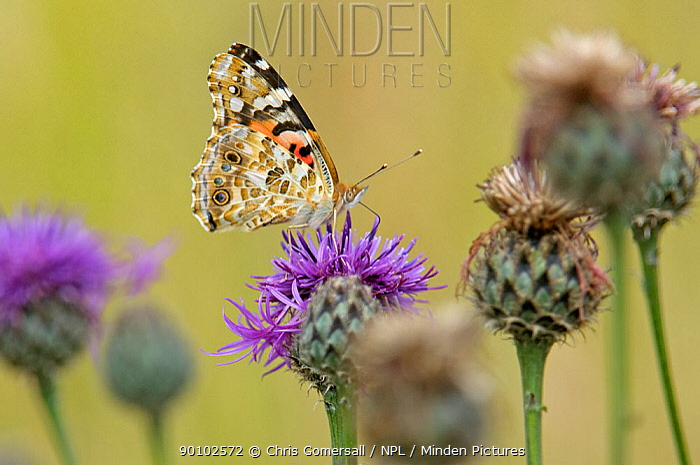 Painted lady butterfly (Cynthia cardui) on Greater knapweed (Centaurea scabiosa) Norfolk, July, UK  -  Chris Gomersall/ npl