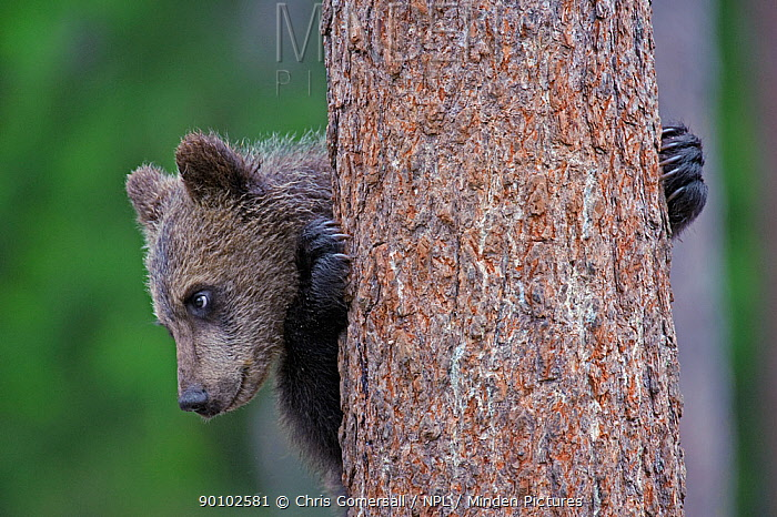 European brown bear (Ursus arctos) cub climbing pine tree, Finland, July  -  Chris Gomersall/ npl