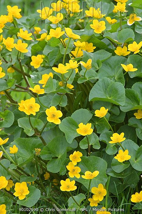 Marsh marigolds, Kingcups (Caltha palustris) in flower, Wiltshire, April  -  Chris Gomersall/ npl