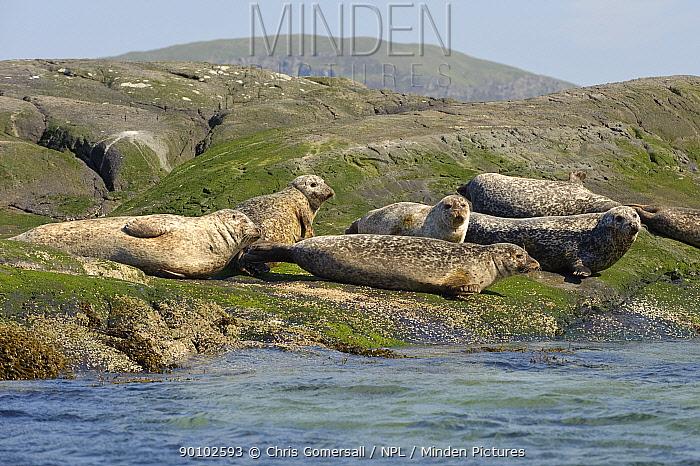 Common, Harbour seals (Phoca vitulina) hauled out on offshore island near Isle of Skye, Inner Hebrides, Scotland, June 2009  -  Chris Gomersall/ npl