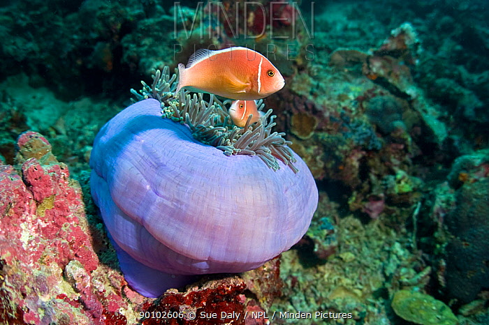 Pink anemonefish (Amphiprion perideraion) pair amongst tentactles of Magnificent sea anemone (Heteractis magnifica) Cebu, Philippines, March  -  Sue Daly/ npl