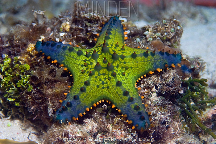 Starfish, Cushion sea star (Pentaceraster cf multispinus) Cebu, Philippines, March  -  Sue Daly/ npl