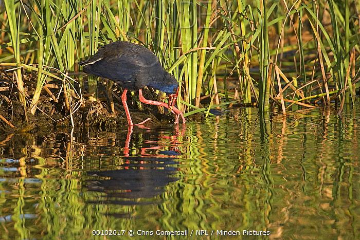 Purple swamphen, gallinule (Porphyrio porphyrio) feeding on reed stem or rhizome, Rio Formosa Nature Reserve, Algarve, Portugal, March 2008  -  Chris Gomersall/ npl