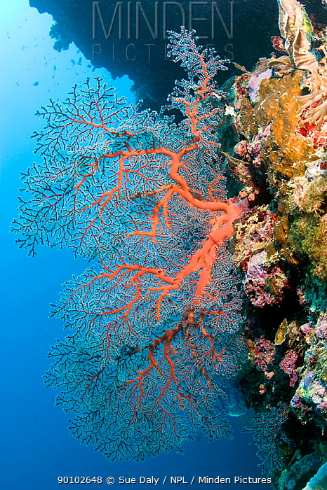 Sea fan coral (Gorgonia sp) Cebu, Philippines, March  -  Sue Daly/ npl