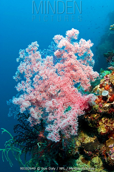 Soft coral (Dendronephthya sp) Cebu, Philippines, March  -  Sue Daly/ npl