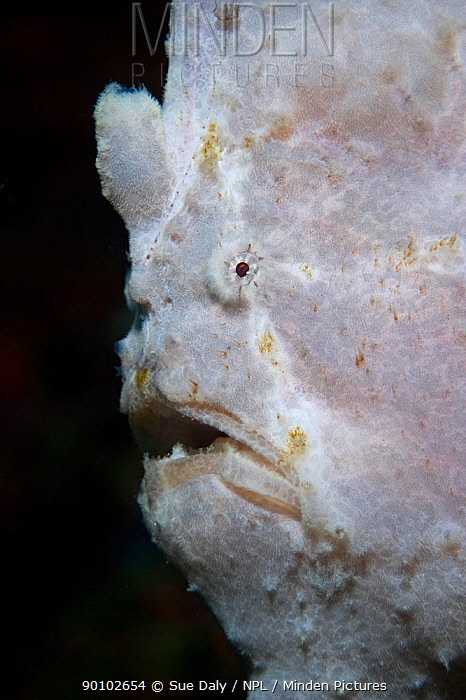 Painted frogfish (Antennarius pictus) close up of face, Cebu, Philippines, March  -  Sue Daly/ npl