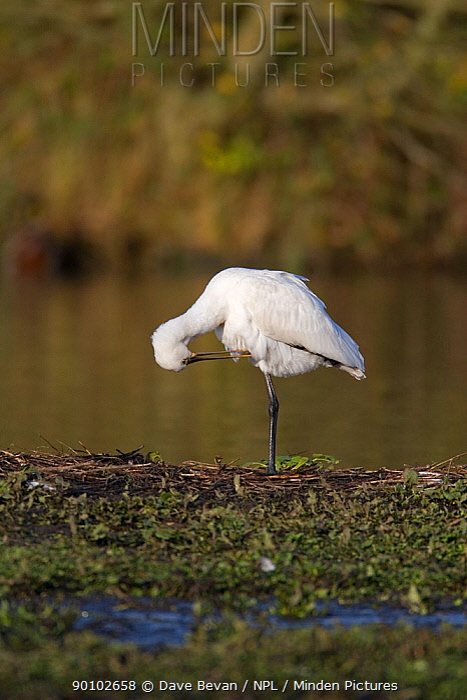 White spoonbill (Platalea leucorodia) preening on river bank, Carmarthenshire, Wales, UK  -  Dave Bevan/ npl