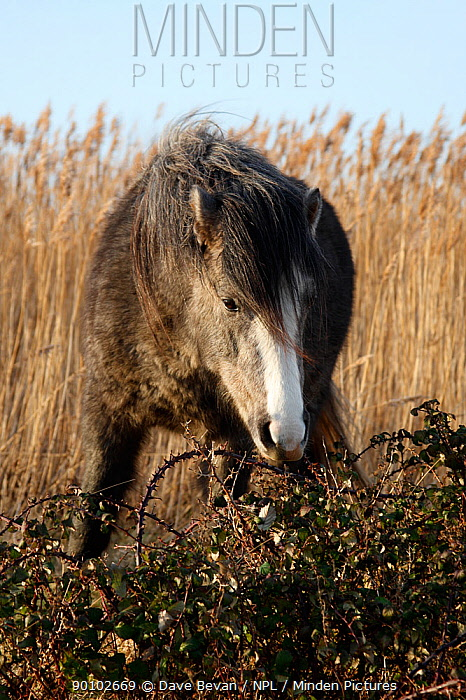 Pony browsing on brambles at Conwy RSPB reserve, North Wales, UK, January 2009  -  Dave Bevan/ npl