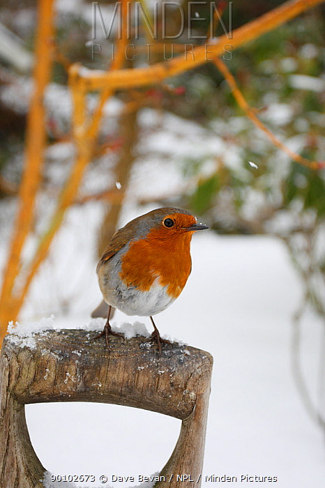 Robin (Erithacus rubecula) perched on garden fork handle in snow, Wales, UK  -  Dave Bevan/ npl