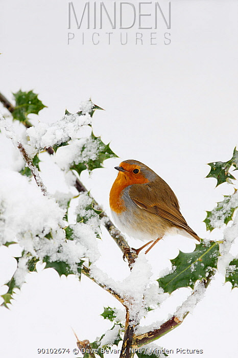 Robin (Erithacus rubecula) perched on snow covered Holly, Wales, UK  -  Dave Bevan/ npl