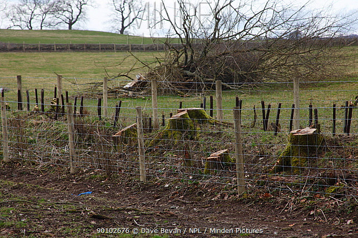 Double fencing to protect regenerating hedgerow, Wales, UK, February 2009  -  Dave Bevan/ npl