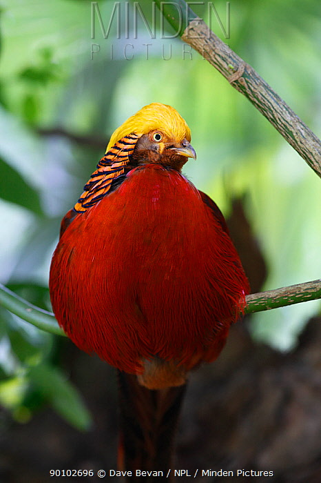 Golden pheasant (Chrysolophus pictus) male perched in tree, introduced species, Wales, UK  -  Dave Bevan/ npl