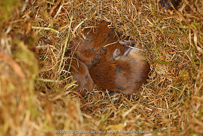 Short tailed field vole (Microtus agrestis) nest full of babies, Wales, UK  -  Dave Bevan/ npl