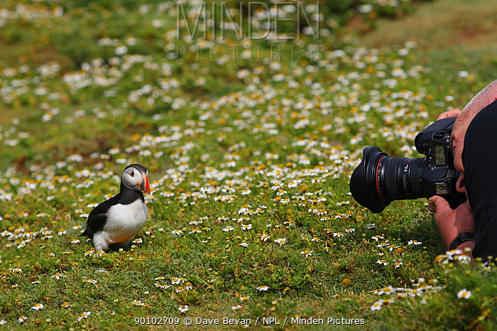 Photographer photographing Puffin (Fratercula arctica) on Skomer island, Wales, UK  -  Dave Bevan/ npl