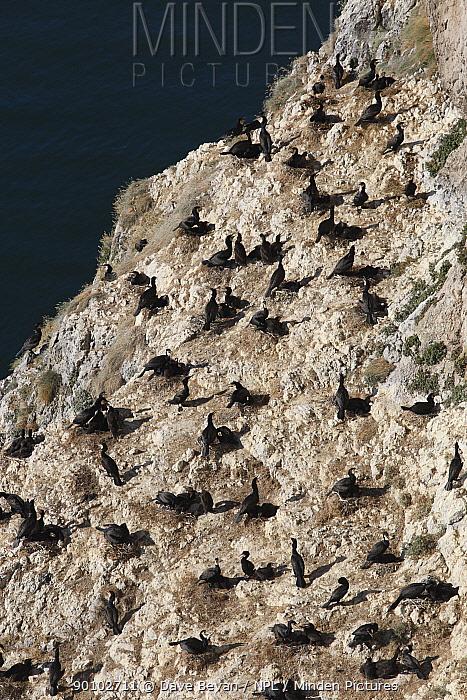 Common cormorant (Phalacrocorx carbo) nesting colony, Little Orme, Llandudno, Wales, UK  -  Dave Bevan/ npl