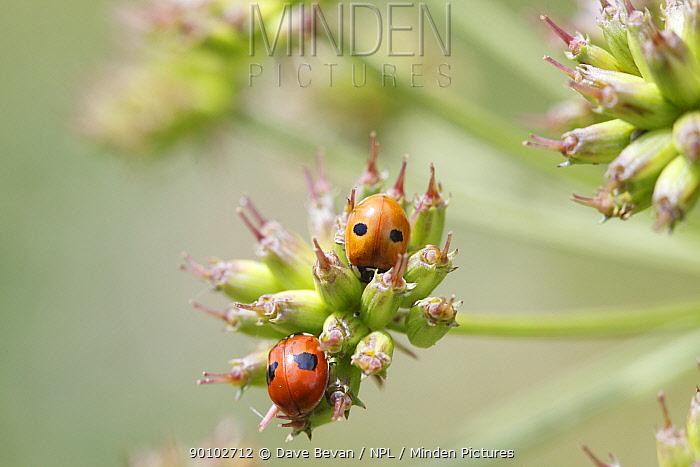 Two spot ladybird (Adalia bipunctata) at rest on seed head, Wales, UK  -  Dave Bevan/ npl