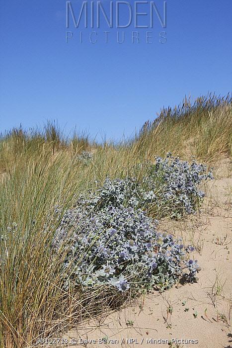 Sea holly (Eryngium maritimum) flowering on sand dunes, Wales, UK  -  Dave Bevan/ npl