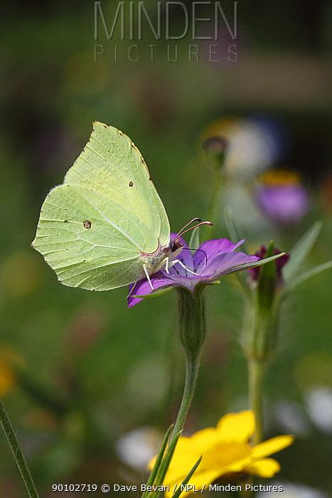 Brimstone butterfly (Gonepteryx rhamni) male feeding on Corncockle flower, Wales, UK  -  Dave Bevan/ npl