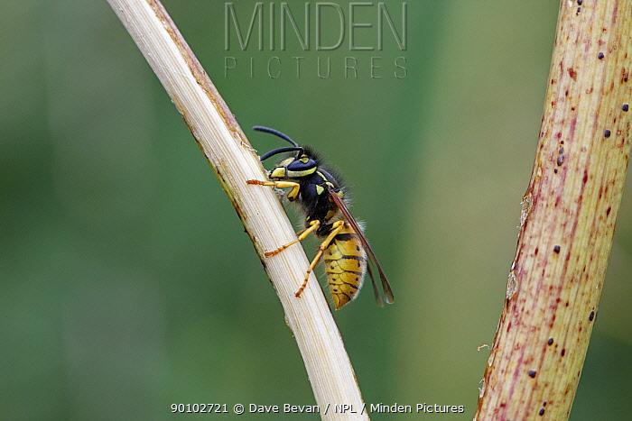 Common wasp (Vespula vulgaris) rasping surface of stem of Fools parsley, UK  -  Dave Bevan/ npl
