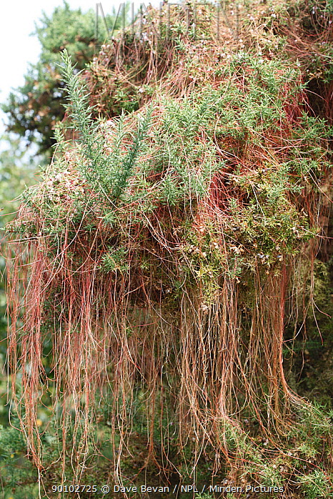 Common dodder (Cuscuta epithymum) growing over gorse bush, Wales, UK  -  Dave Bevan/ npl