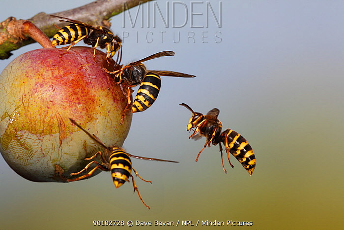 Median wasp ( Dolchovespula media) flying to and feeding on greengage fruit, UK  -  Dave Bevan/ npl