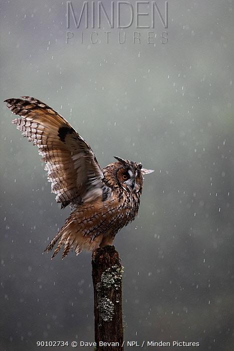 Long eared owl (Asio otus) perched on post, shaking wings in rain, Wales, UK  -  Dave Bevan/ npl