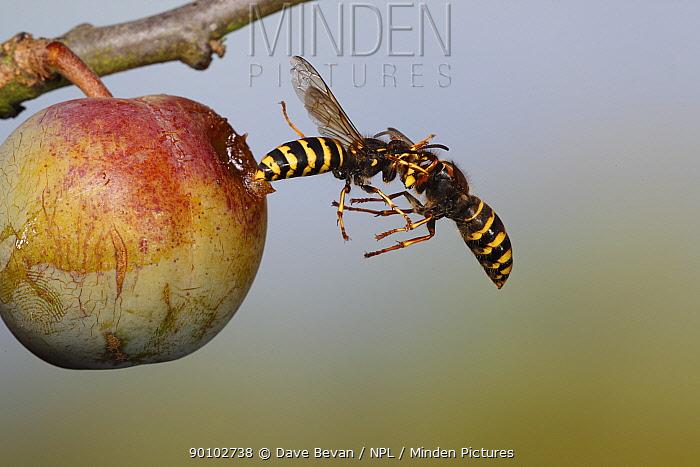 Median wasp (Dolichovespula media) two fighting in mid-air beside greengage fruit, UK  -  Dave Bevan/ npl