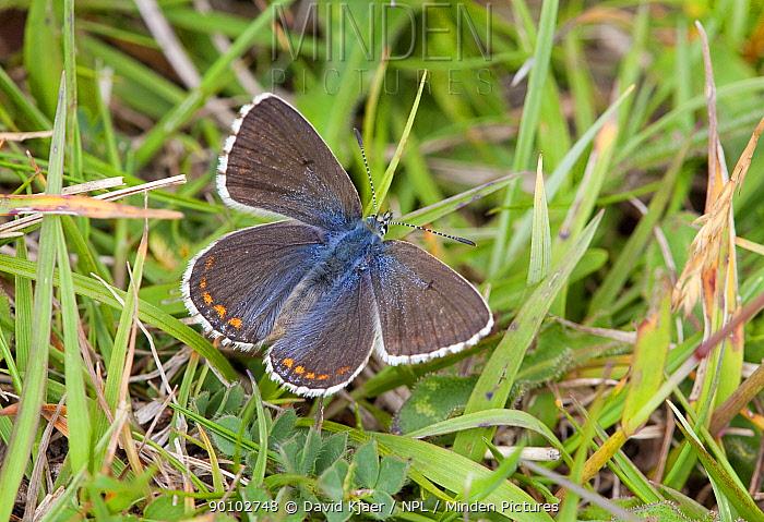 Female Adonis blue butterfly (Lysandra bellargus) Dorset, England, May  -  David Kjaer/ npl