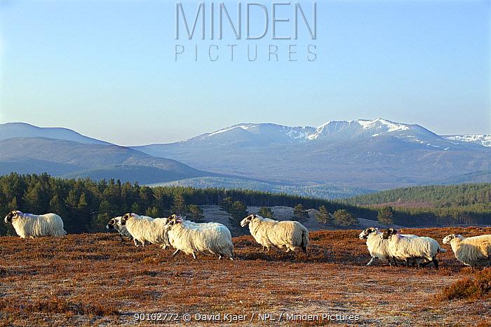 Black faced sheep, Deeside, Scotland, April 2009  -  David Kjaer/ npl
