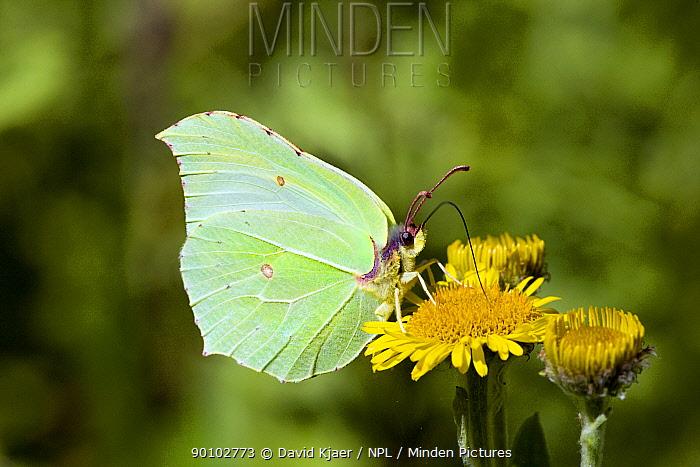Male Brimstone butterfly (Gonepteryx rhamni) feeding on flower, Dorset, England, August  -  David Kjaer/ npl
