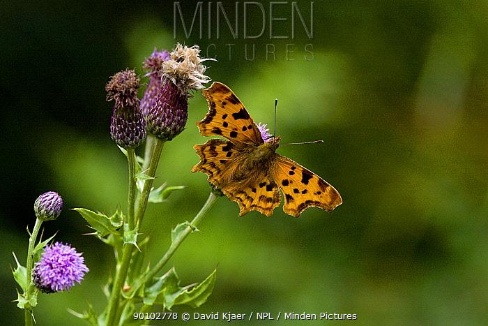 Comma butterfly (Polygonia c-album) on thistle, Wiltshire, UK, July  -  David Kjaer/ npl