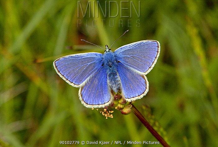 Male Common blue butterfly (Polyommatus icarus) Dorset, England, May  -  David Kjaer/ npl