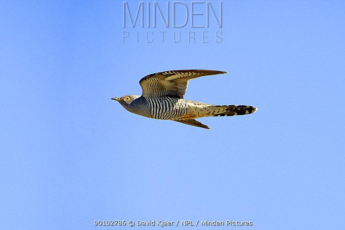 European cuckoo (Cuculus canorus) in flight, North Uist, Outer Hebrides, Scotland, May  -  David Kjaer/ npl