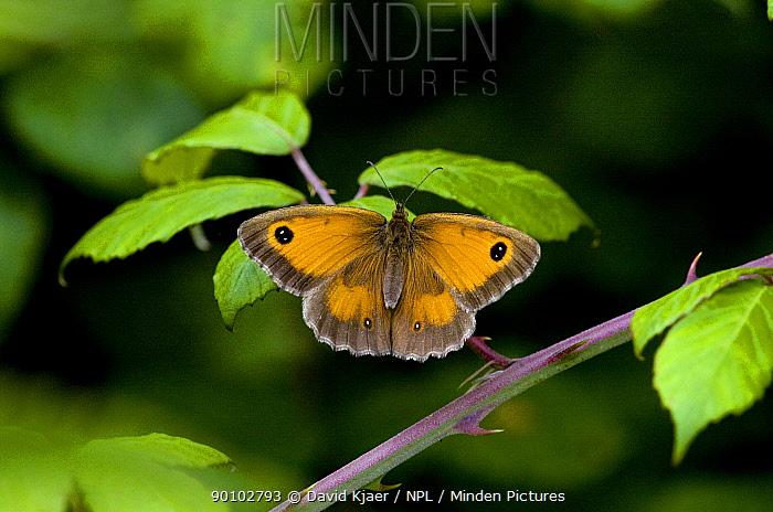 Female Hedge brown, Gatekeeper butterfly (Pyronia tithonus) on bramble, Dorset, England, July  -  David Kjaer/ npl