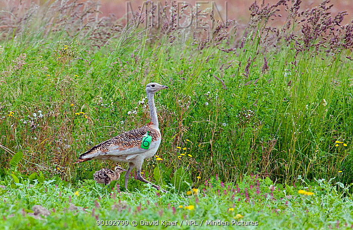 Female Great bustard (Otis tarda) with chick (the first to be born in the UK for 177 years) part of a reintroduction project with birds imported from Russia, Salisbury Plain, Wiltshire, UK, June 2009  -  David Kjaer/ npl